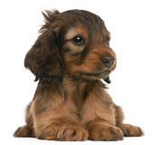 Dachshund puppy, 5 weeks old, stock photo
