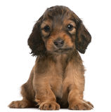 Dachshund puppy, 5 weeks old, sitting. In front of white background Stock Photos