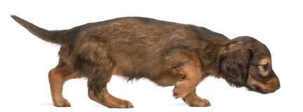 Dachshund puppy, 5 weeks old, walking Stock Photo