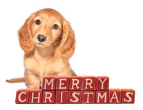 Dachshund puppy. Miniature dachshund puppy seated in front of Merry Christmas blocks Stock Photography