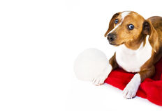A dachshund puppy. Resting on a santa claus hat Stock Photo