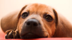 Free Dachshund Puppy Stock Photos - 7042713