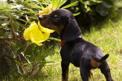 Dachshund puppy Stock Photography