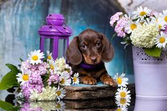 Free Dachshund Puppy  And Flowers Chamomile Stock Photo - 119756800