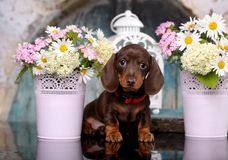 Free Dachshund Puppy  And Flowers Chamomile Royalty Free Stock Photo - 119756875