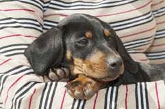 Dachshund puppy in arms Royalty Free Stock Photo