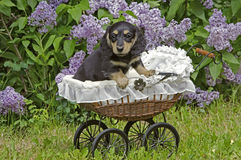 Dachshund puppy in baby carriage Stock Images