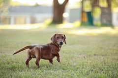 Dachshund puppy backyard. Dachshund puppy standing in backyard in front of children's playground Royalty Free Stock Images