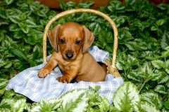Dachshund Puppy in a Basket Royalty Free Stock Image