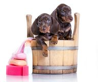 Dachshund puppy -  bath time. Puppy bath time - Dachshund puppy in wooden wash basin Stock Photography