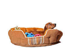 Dachshund puppy in bed. Dachshund puppy in pet bed looking away, isolated on white Stock Photos