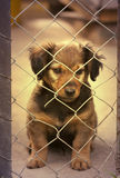 Dachshund puppy behind the fence - in retro vintage filter Royalty Free Stock Image
