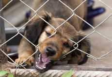 Dachshund puppy behind the wire mesh fence Stock Images