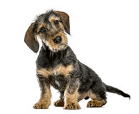 Dachshund puppy bending head, 4 months old, isolated Stock Images