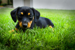 Dachshund puppy. Black Dachshund puppy dog is your friend royalty free stock photography