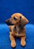 Dachshund puppy on a blue background. Little dachshund laying on a blue background Royalty Free Stock Image