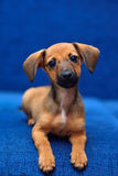 Dachshund puppy on a blue background Royalty Free Stock Photography