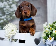 Dachshund puppy  and flowers chamomile Stock Images