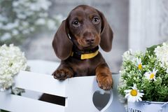 Dachshund puppy  and flowers chamomile Stock Photo