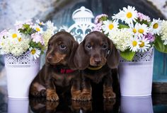 puppy and flowers camomile Royalty Free Stock Photos