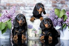 Dachshund puppy and flowers. Dachshund puppy brown tan color and flowers lilas purple royalty free stock image