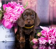 Dachshund puppy and flowers peony. Dachshund puppy brown tan color and flowers peony pink royalty free stock photography