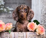 Dachshund puppy brown tan merle color and roses flowers. Dachshund puppy brown tan merle color and pink roses flowers stock images