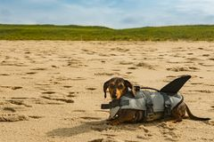 Dachshund Puppy on Cape Cod Beach. A cute puppy in a shark life vest on the beach at Cape Cod Massachusetts stock photos