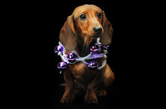 Dachshund puppy with a christmas ball. Cute dachshund puppy with a christmas ball Stock Image