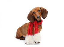Dachshund puppy with a christmas scarf. Dachshund puppy with a red christmas sacrf Stock Photography