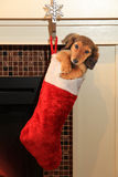 Dachshund puppy in christmas stocking. Dachshund puppy in a Christmas stocking hanging in front of a fireplace Royalty Free Stock Photography