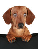 Dachshund puppy close-up portrait Stock Photo