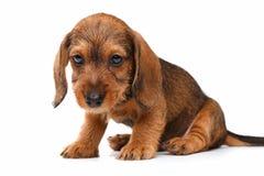 Dachshund puppy Stock Photography