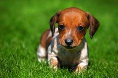 Free Dachshund Puppy Dog Autumn Season Garden Royalty Free Stock Image - 125519276