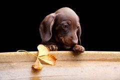 Dachshund puppy dog in the autumn garden