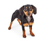 Dachshund Puppy Dog Standing Lookng Forward Royalty Free Stock Photo