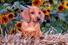 Dachshund Puppy Dog & Sunflowers Royalty Free Stock Photo