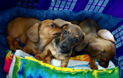 Dachshund Puppy Dogs Three    Royalty Free Stock Image