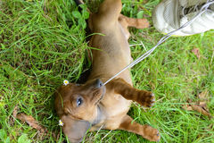 Dachshund puppy don't let go of shoelace Royalty Free Stock Images