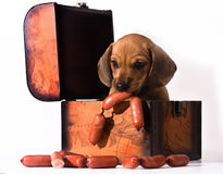 Dachshund puppy eating tasty sausages Royalty Free Stock Photography