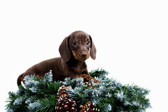 Dachshund puppy and fir branch Royalty Free Stock Photos