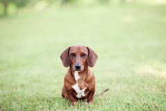 Dachshund puppy. Front view sitting outside in grass Stock Photography