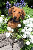 Dachshund puppy in the garden. stock photography