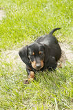 Dachshund puppy in the garden Royalty Free Stock Photo