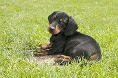 Dachshund puppy in the garden Stock Photos