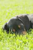 Dachshund puppy in the garden Stock Photo
