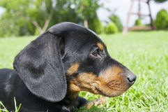 Dachshund puppy in the garden Royalty Free Stock Images