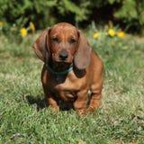 Dachshund puppy in the garden Stock Images