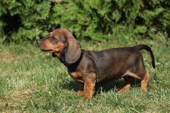 Dachshund puppy in the garden Stock Photo