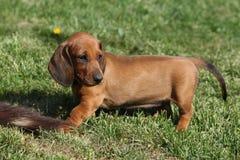 Dachshund puppy in the garden Stock Photography